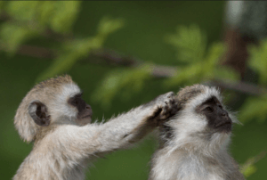 Monkey Grooming Friend